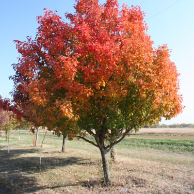 Autumn Blaze Ornamental Pear
