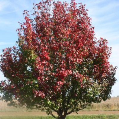 Autumn Blaze Ornamental Pear - Fall