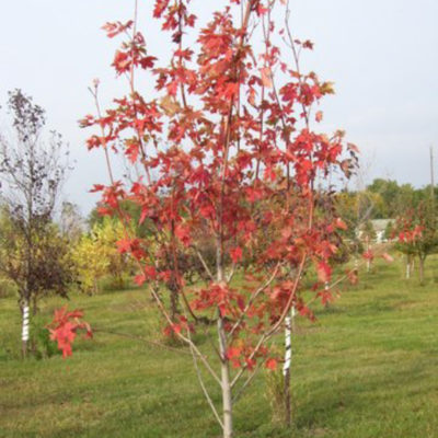 Autumn Spire Maple - Fall