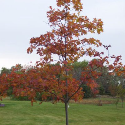 Northern Red oak - Fall